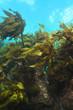 Kelp Ecklonia radiata on shallow water reef