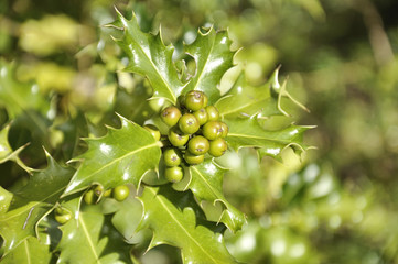 Holly branch - Ilex aquifolium
