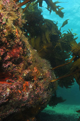 Underwater rocky reef with kelp forest on top