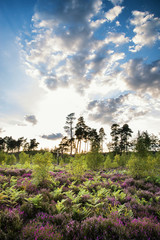 Summer landscape over meadow of purple heather during sunset