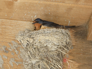 Barn swallow Sitting on Mud Nest