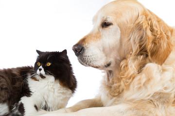 Persian Cat With Golden Retriever Dog