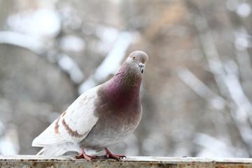 pigeon close up