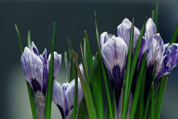 blue crocus flowers spring