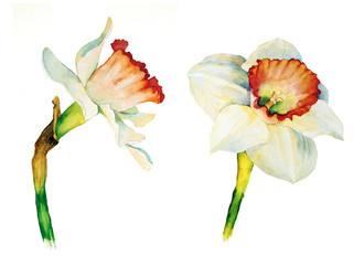 Daffodil flower botanical watercolor