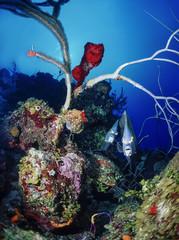 Caribbean Sea, Belize, U.W. photo, couple of Angel fish