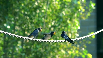 The swallows on wire