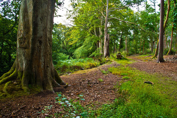 English woodland in the summer