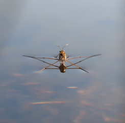 pond skater on water