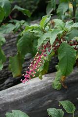 Poke Berries4