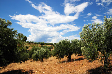 Olive trees, Greece