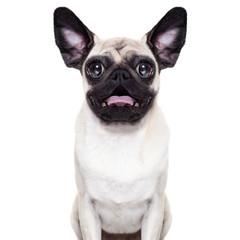 Surprised crazy dog