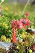 canvas print picture - fleurs de montagne