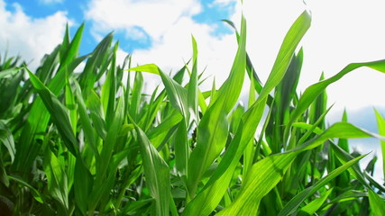 Green Corn Maize Plants in cultivated agricultural field