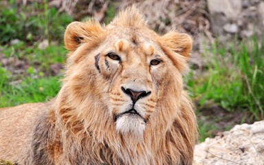 Lion sauvage