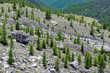 Giovane conifera nascente in alta montagna