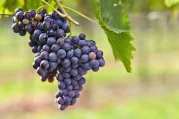 Branch of red wine grapes