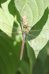 Dragonfly, Common Green Darner (Anax junius)