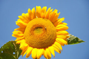 sunflower with bee