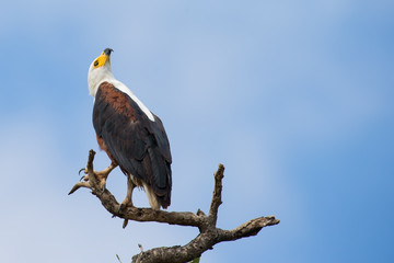 A majestic fish eagle sitting on a perch looking up in sky for h