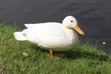 Eine Ente in einem Park