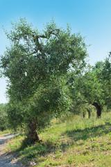 albero di ulivo verticale