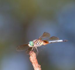Green headed dragonfly