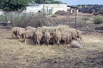 view of sheep in a farm - italy