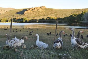 Patos, Laguna los Juncos, Bariloche