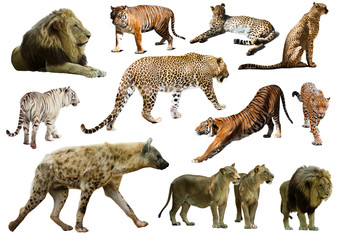 Set of  hyena, leopard  and other feliformia