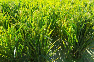 Rice grows  in sunny day