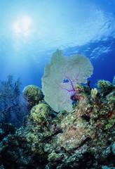 Caribbean Sea, Belize, U.W. photo, tropical Sea Fan