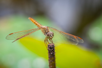 Macro of dragonfly resting on a twig