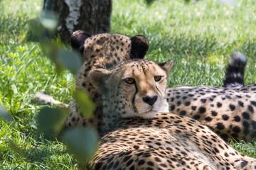 ghepard cheetah
