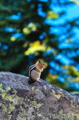 Squirrel at Crater Lake National Park, Oregon, USA