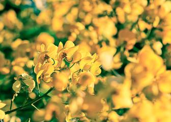 closeup of  yellow  flowers  on tree (Senna siamea Lam) with vin