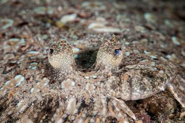 Leopard flounder Bothus pantherinus in Gorontalo underwater