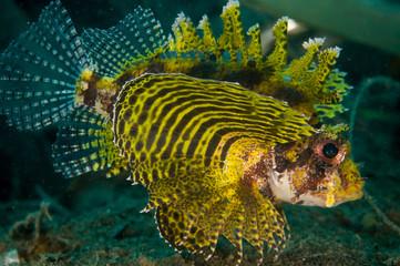 shortfin lionfish Dendrochyrus in Gorontalo underwater