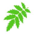 Green rowan leaf.