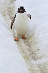 Gentoo penguin who goes on the trail spring day