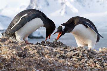 male and female penguins Gentoo from the nest in the oment trans