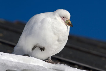 Snowy Sheathbill sitting on the roof of the Antarctic station tu