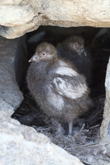 two chicks in the nest Snowy Sheathbill between stones