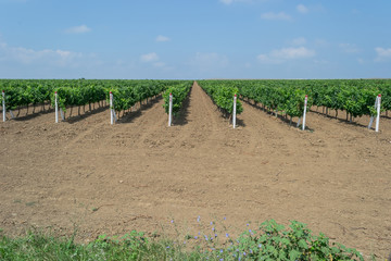 Таманский виноградник
