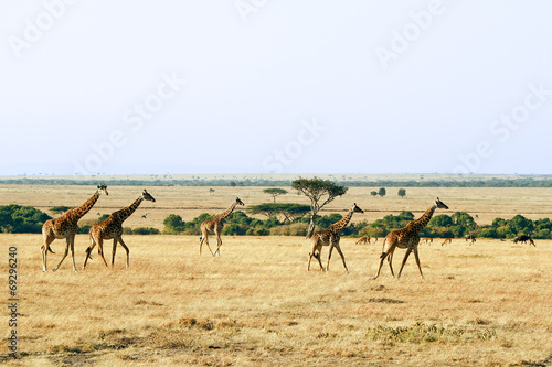 Foto op Plexiglas Giraffe Giraffes on the Masai Mara in Africa