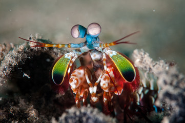 Peacock mantis shrimp in Gorontalo, Indonesia underwater photo.