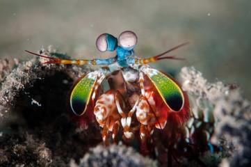 Peacock mantis shrimp in Gorontalo, Indonesia underwater photo.