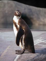 Face of a Humboldt penguin