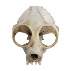 Loris Skull