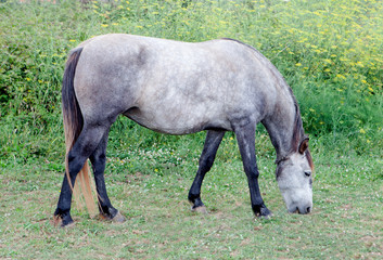 Grey Horse in a meadow grazing